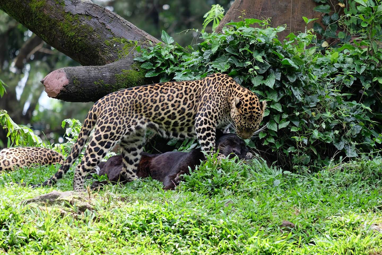 Leopard Bali Safari Mara River Safari Lodge