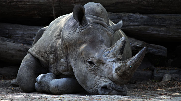 Conservation – Help Save the Rhinos Rhinos Baby