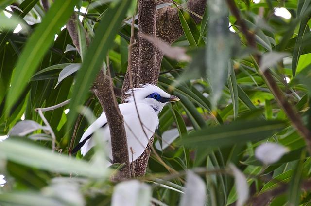 bali starling wild conservation