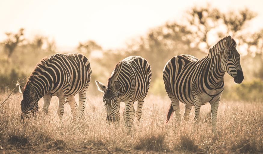 Zebras in Savannah