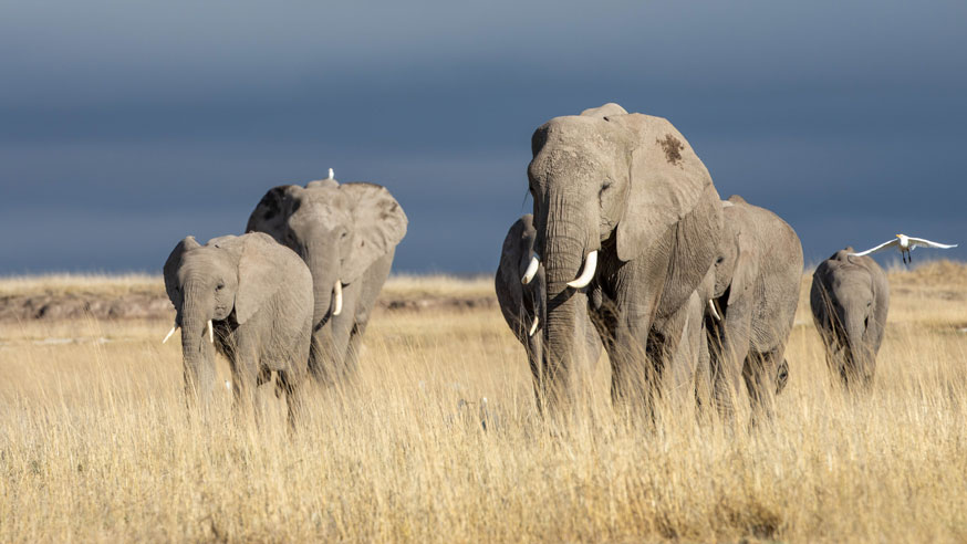 Elephants with family