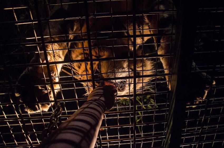 Tiger Dinner in Night Safari